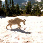 Mountain Goat Crossing A Snow Patch Poster