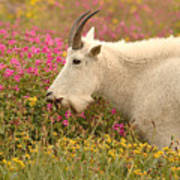 Mountain Goat In Colorful Field Of Flowers Poster