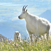 Mountain Goat Momma And Kid Poster