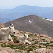 Mountain Goat Mother And Kid In Mountain Home Poster