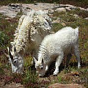 Mountain Goat Nanny And Kid Foraging At Columbine Lake - Weminuche Wilderness - Colorado Poster