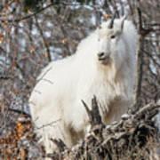 Mountain Goat Pride Poster