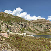 Mountain Goats At Columbine Lake - Weminuche Wilderness - Colorado Poster
