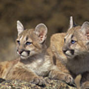 Mountain Lion Cubs On Rock Outcrop Poster