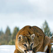 Mountain Lion In Winter Poster