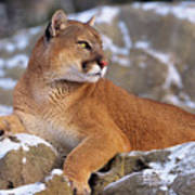 Mountain Lion On Snow-covered Rock Outcrop Poster