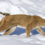 Mountain Lion Puma Concolor Hunting Poster