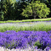 Mountainside Lavender Farm Poster