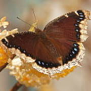 Mourning Cloak Butterfly Poster