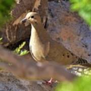Mourning Dove On The Hillside Poster