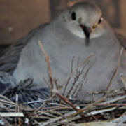 Mourning Dove With One Of Two Chicks Poster