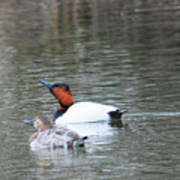 Mr And Mrs Canvasback Poster