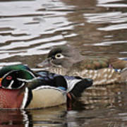 Mr. And Mrs. Wood Duck Poster
