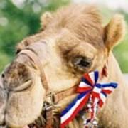 Mr. Camel Poster