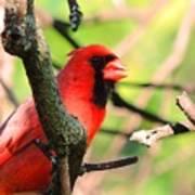 Mr Cardinal Poster