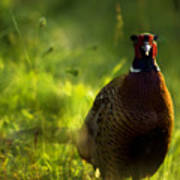 Mr Pheasant Poster