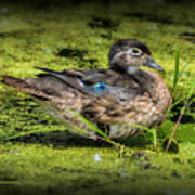 Ms. Wood Duck Poster