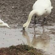Muddy Tundra Swan Poster