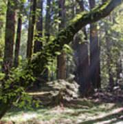 Muir Wood Poster
