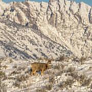 Mule Deer Buck In Winter Sun Poster