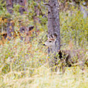 Mule Deer Doe In The Pike National Forest Poster