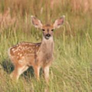 Mule Deer Fawn Is All Ears Poster