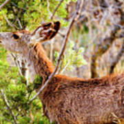 Mule Deer Foraging On Pine On A Colorado Spring Afternoon Poster
