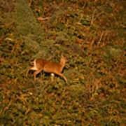 Mule Deer - Mattole Beach Poster