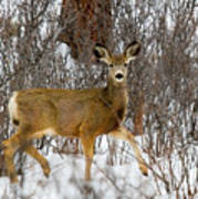 Mule Deer Portrait In Heavy Snow Poster