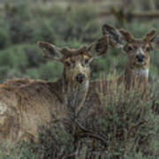 Mule Deer Visitors At Sunset Poster