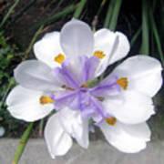 Multi-petal White Iris Flower. Very Unusual, Rare Form Poster
