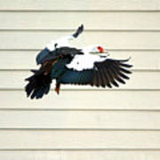 Muscovy Duck In Flight Passing A Building Poster
