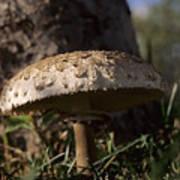 Mushroom II Poster