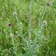 Musk Thistle In Full Glory Poster