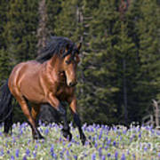 Mustang Stallion And Lupines Poster