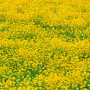 Mustard Flowers Poster