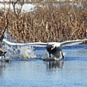 Mute Swan Chasing Canada Goose Poster