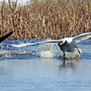 Mute Swan Chasing Canada Goose I Poster