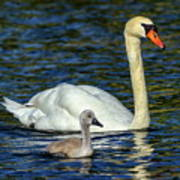 Mute Swan, Cygnus Olor, Mother And Baby Poster