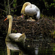 Mute Swan Family Poster