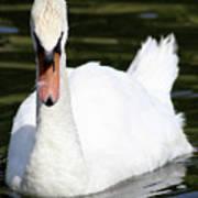 Mute Swan Feathers Of Lake Junaluska North Carolina  Poster
