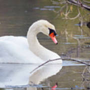 Mute Swan I Poster