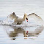 Mute Swan Landing I Poster