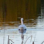 Mute Swan Swimming Away Poster