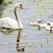 Mute Swan With Cygnets Poster