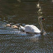 Mute Swan With Three Cygnets Following Poster