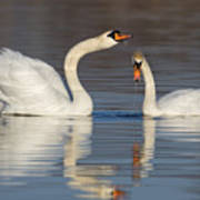 Mute Swans Drinking Poster