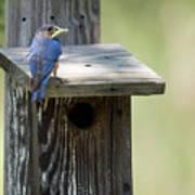 My First Bluebird Poster