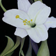 My White Lily Poster