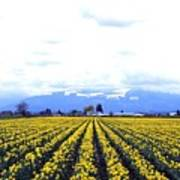 Myriads Of Daffodils Poster
